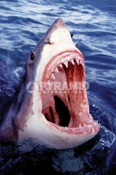 plakat GREAT WHITE SHARK