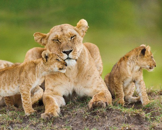 plakat LIONESS - AND CUBS